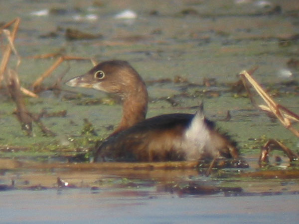 [Link to additional Pied-billed Grebe photos]