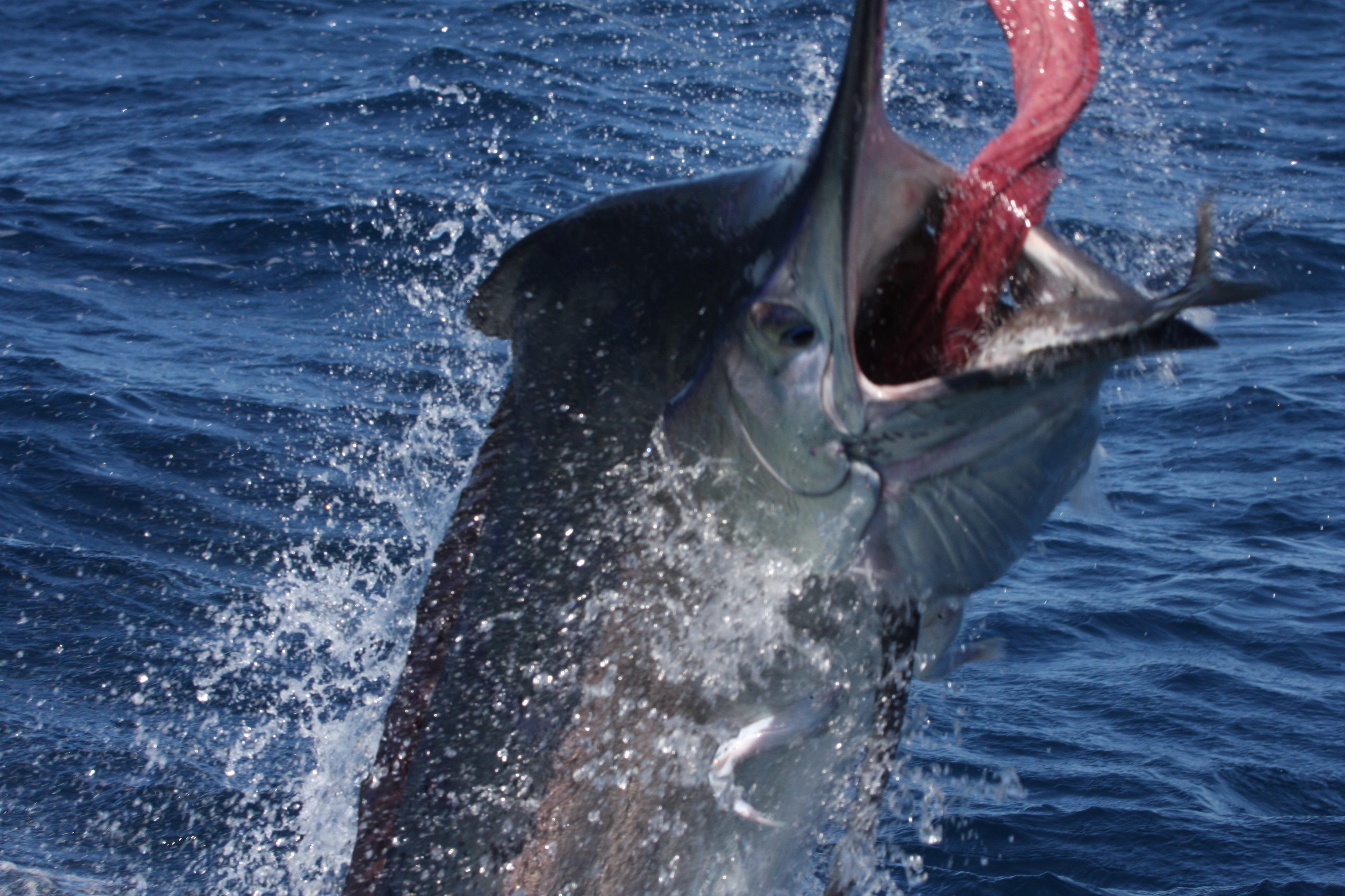 Black Marlin Underwater
