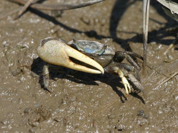 Mud Fiddler Crab